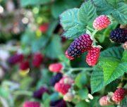 fruit-picking-3