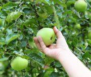 fruit-picking-4